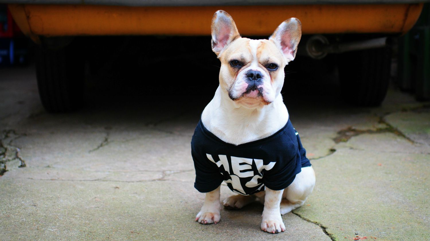 Featured | White dog standing on ground | How To Make a DIY Dog Shirt | DIY Pet Projects
