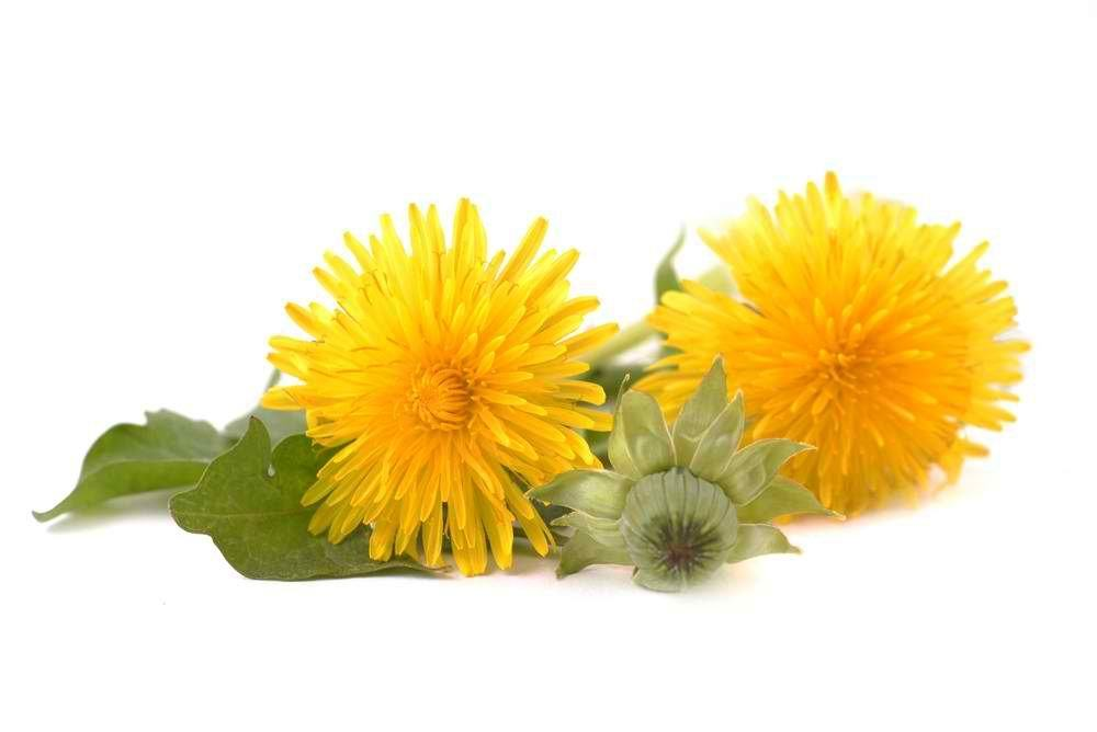 Dandelion | Tips and Guides For Proper Flower Etiquette [Infographic]