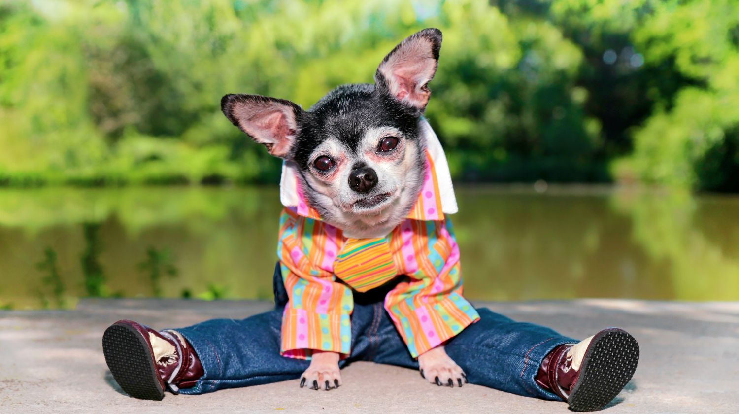 Feature | Chihuahua in clothes | DIY Dog Clothes And Coats You Should Make