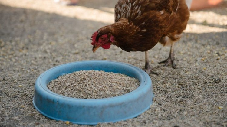feeding-chickens-barnyard-person-feeds-hens | Fuss-Free DIY Chicken Feeder Tutorial | Featured